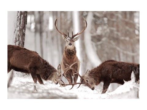 imagen ciervos