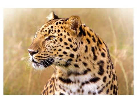 leopardo fotos