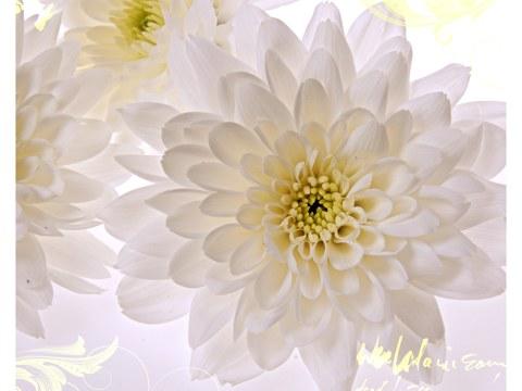 Flores blancas fotos